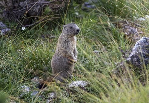 ENGADIN St. Moritz - Murmeltier im Schweizerischen Nationalpark. ENGADIN St. Moritz - Marmot in the Swiss National Park. ENGADIN St. Moritz - Marmotta nel parco nazionale svizzero. Copyright by: ENGADIN St. Moritz By-line: swiss-image.ch/Andrea Badrutt